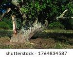 Single Slate Gnarly Apple Tree...