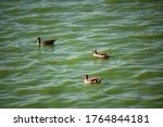 Egyptian Geese On A Dam