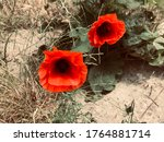 Two Red Poppies On A Backgroun...
