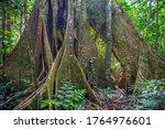 Base Of A Ceiba Tree Trunk ...