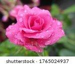 A Closeup Of A Pink Rose With...