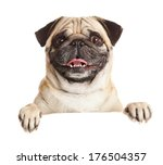 Stock photo pug dog with blank billboard dog above banner or sign pug dog portrait over white background 176504357