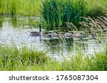 Canada Goose With Newly Hatched ...