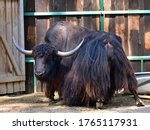Small photo of Brown yak (Bos mutus) in farm barn closeup. Black yak hairy back of scottish wild cow stand on ground. Cattle mountain bull rear (yak, ox, buffalo, bison) nature animal. Farm animal in Nepal & Tibet