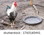 Rooster With A Big Red Crest O...