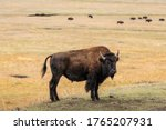 American Bison On Hill Slope...