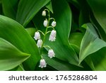 Pretty Spring White Bells Of...