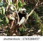 Sifaka Lemur Sits On A...