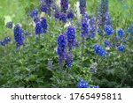 Delphinium  Blue  Grows In The...