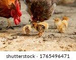 Closeup Of A Mother Chicken...