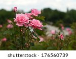 Stock photo several pink roses in a garden on a cloudy day 176560739
