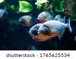 Group Of Red Bellied Piranhas...