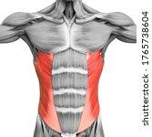 Human Muscular System Torso...