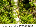 Great crested flycatcher is a...