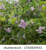 Summer Flowering Lilac Pink...