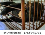 Small photo of Bear in a cage in captivity taking bile - illegal farm.