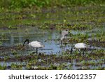 The black headed ibis ...