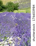 lavender flower field | Shutterstock . vector #176603984