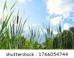 Small photo of Beautiful landscape of bull rushes and reed mace in the blue sky, summer day with sunlight green landscape background close-up