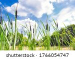 Small photo of Beautiful landscape of bull rushes and reed mace in the blue sky, summer day with sunlight green landscape background