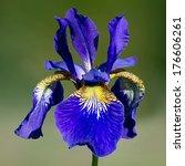 The Coloful Siberian Iris  Iri...
