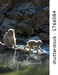 Two Japanese Macaque Monkeys I...