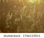 Golden Reed Plumes  Backlit By...