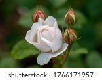 Beautiful Open Rose With...