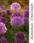 Blooming Purple Allium Flowers...