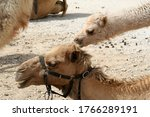 A Pair Of Camels  With The...