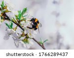 Bumblebee Sits On A Branch Of ...