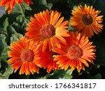 Orange Gerber Daisy Flowers In...