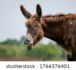 Braying poitou donkey braying with a green and blue blurred background