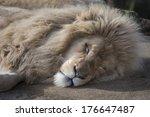 Male Lion Asleep In Sun