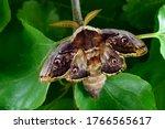 Moth  saturnia pyri  the giant...