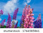 Blooming Lupine Flowers  ...