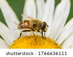 A Bee On A Camomile Flower....