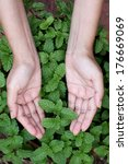 hands holding mint leaves | Shutterstock . vector #176669069