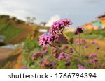 Verbena Flower In Phetchabune ...
