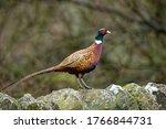 Common Pheasant   Phasianus...