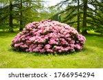 Rhododendron   Blooming Azalea  ...