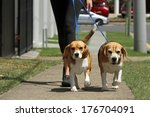 Stock photo walking beagle dogs on lead 176704091