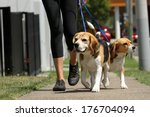 Stock photo walking beagle dogs on lead 176704094
