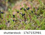 Small photo of Glossy black crowberries (Empetrum nigrum) on stems. Black crowberry in its wild habitat.