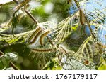 Caterpillars Made Cocoons On...
