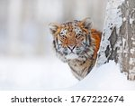 Tiger  Cold Winter In Taiga ...