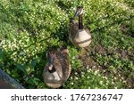 Two Curious Grey Geese Looking...