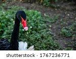 A Wild Black Goose Red Beak In...