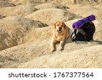 Labrador Retriever Dog Fawn...