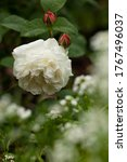 Blooming White Rose With...